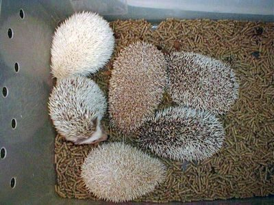 multiple hedgies